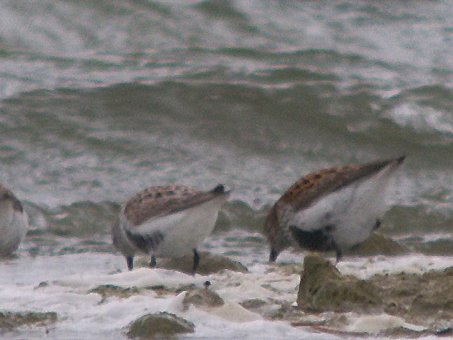 'Arctic' Dunlin (left) Summer Leys, 9th May 2013 (Mike Alibone). The difference in upperpart pattern is obvious, the bright, rusty fringes of the schinzii Dunlin on the right being replaced by buff and grey in arctica, the latter being a marginally smaller individual (exaggerated in the photograph by the slightly different angles of the two birds relative to each other) while the bill length of arctica is shorter but this is not visible in the image.
