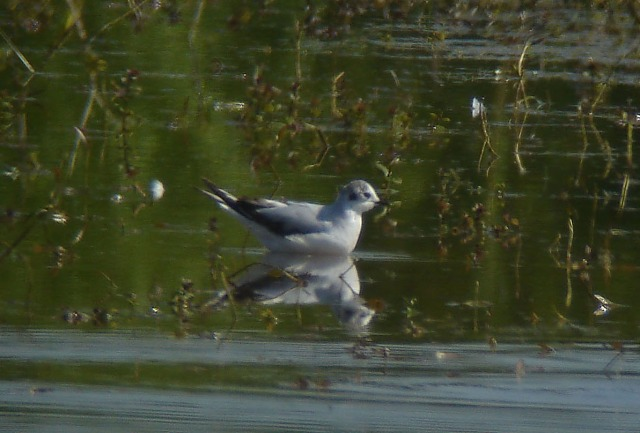 First-summer Little Gull, Summer Leys LNR, 6th May 2013 (Dave Warner)