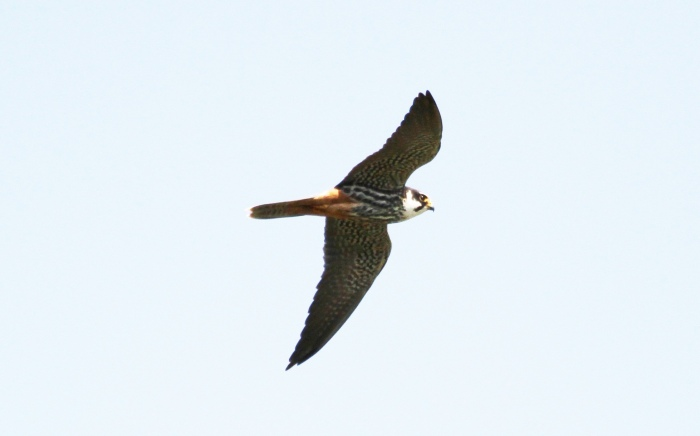 Hobby, Earls Barton GP, 9th May 2013 (Alan Coles)