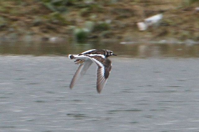 Turnstone, Summer Leys LNR, 15th May 2013 (Bob Bullock)