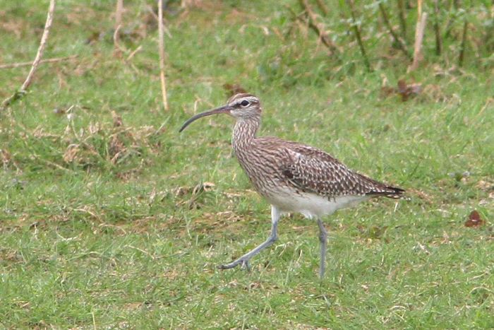 Whimbrel, Summer Leys, 8th May 2013 (Bob Bullock)