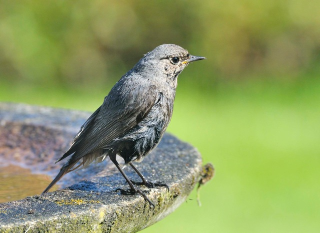 Black Redstart, Oundle, 4th June 2013 (Richard Chandler)