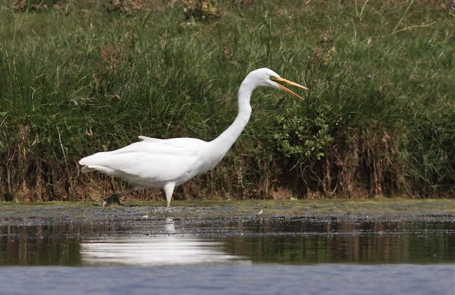 Great White Egret, Clifford Hill GP, 27th July 2013 (Dave Jackson).