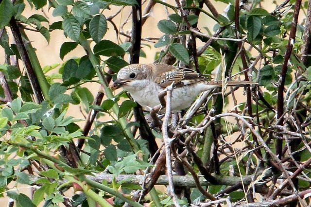 Juvenile Woodchat Shrike, Harrington AF, 20th August 2013 (Bob Bullock)