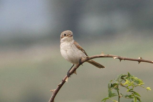 Juvenile Woodchat Shrike, Harrington AF, 20th August 2013 (Bob Bullock)