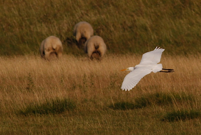 Great White Egret with mooning sheep, Clifford Hill GP, 29th July 2013 (Dave Jackson).1