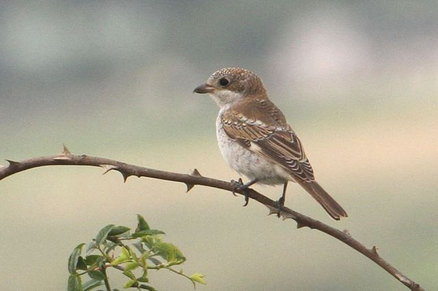 Juvenile Woodchat Shrike, Harrington Airfield, 20th August 2013 (Bob Bullock)