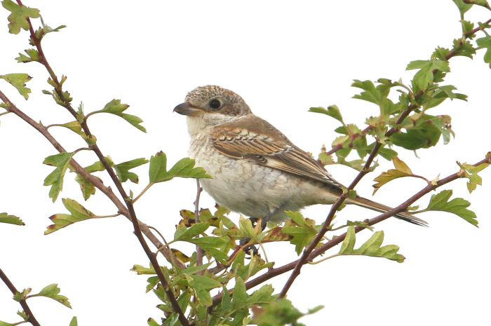 Juvenile Woodchat Shrike, Harrington Airfield, 20th August 2013 (Bob Bullock)