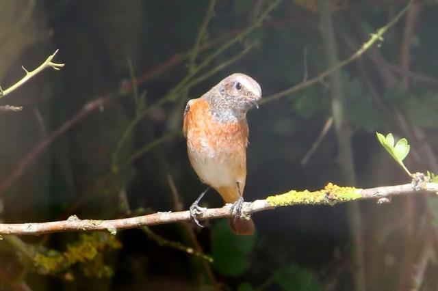 Male Common Redstart, Denton Wood, 29th August 2013 (Bob Bullock)