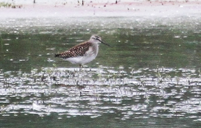 Wood Sandpiper, Summer Leys LNR, 2nd August 2013 (Alan Coles)