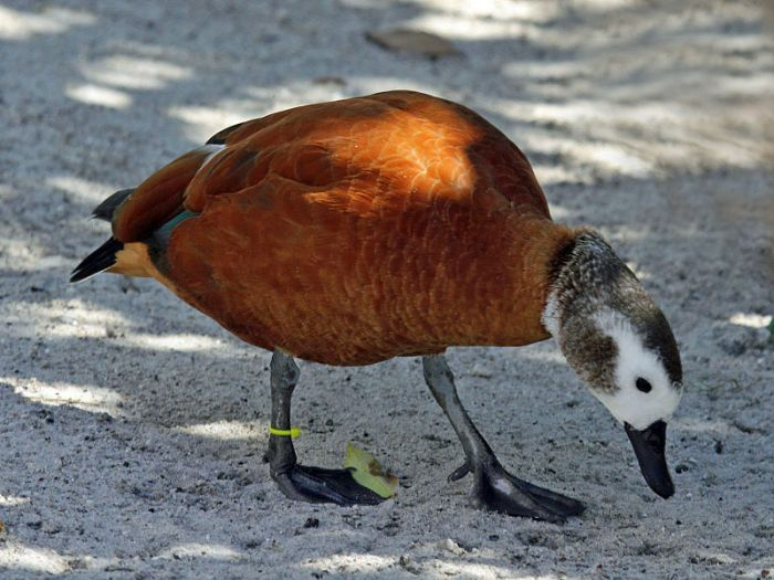 Cape Shelduck in captivity, Florida (Dick Daniels, Wikimedia Commons)