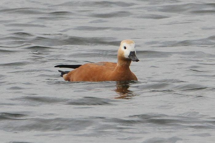 Female Ruddy Shelduck, Pitsford Res, 18th September 2013 (Bob Bullock)