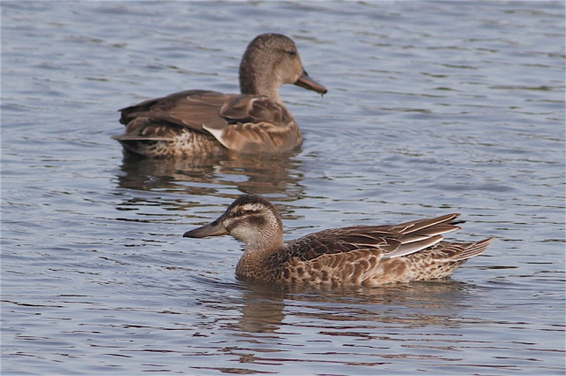 Garganey, Summer Leys LNR, 27th September 2013 (Dave Jackson)
