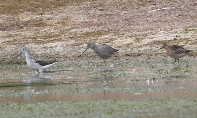 Greenshank, Spotted Redshank and Ruff, Pitsford Res, 21st September 2013 (Bob Bullock)