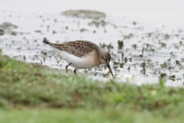 Juvenile Curlew Sandpiper, Clifford Hill GP, 14th September 2013 (Bob Bullock)