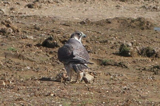 Juvenile female Peregrine, Summer Leys, 26th September 2013 (Bob Bullock)