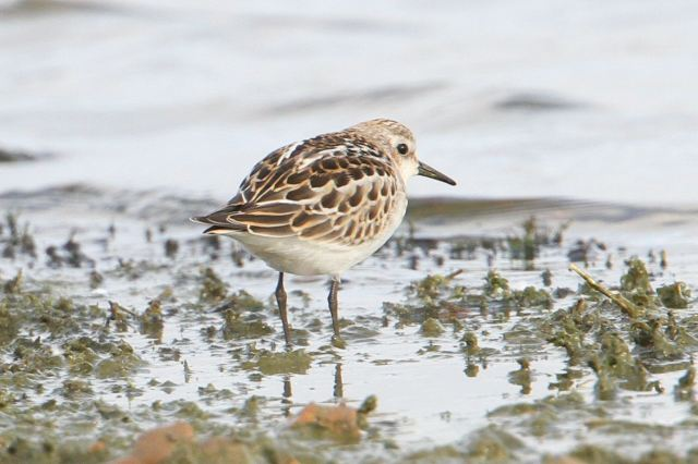 Juvenile Little Stint, Clifford Hill GP, 21st September 2013 (Bob Bullock)