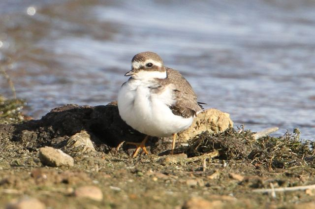 Juvenile Ringed Plover, Clifford Hill GP 16th September 2013 (Bob Bullock)