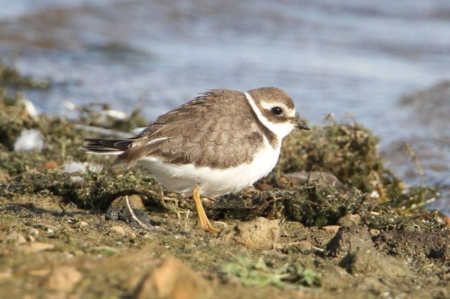 Juvenile Ringed Plover, Clifford Hill GP, 16th September 2013 (Bob Bullock)