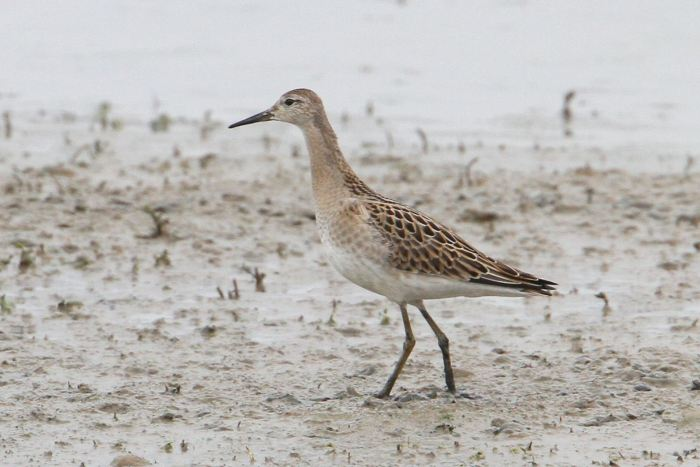 Juvenile Ruff, Summer Leys LNR, 14th September 2013 (Bob Bullock)