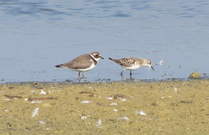 Juvenile Little Stint with Ringed Plover, Pitsford Res, 27th September 2013 (Martin Dove)