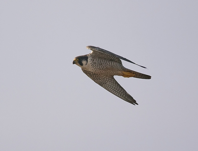 Adult Peregrine, Summer Leys LNR, 27th September (Doug McFarlane)