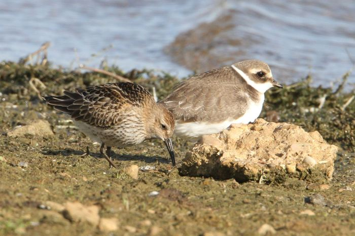 Ringed Plover and Dunlin, Clifford Hill GP, 16th September 2013 (Bob Bullock)