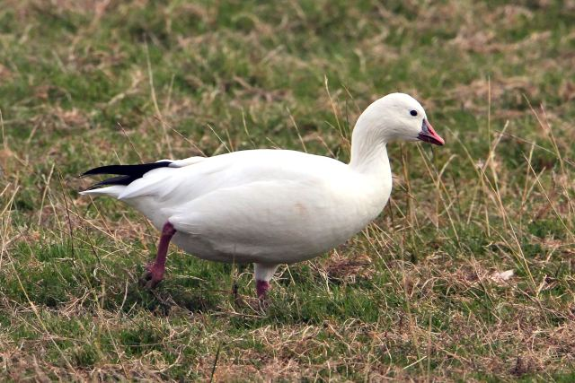 Ross's Goose, Clifford Hill GP, 20th September 2013 (Bob Bullock)