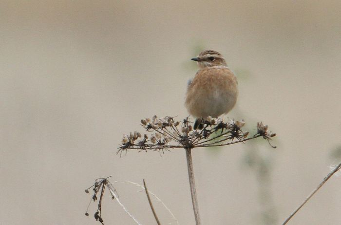 Whinchat, Blueberry Farm, Maidwell, 11th September 2013 (Bob Bullock)