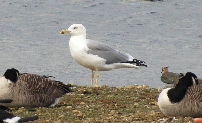 Adult Yellow-legged Gull, Pitsford Res, 4th October 2013 (Martin Dove)