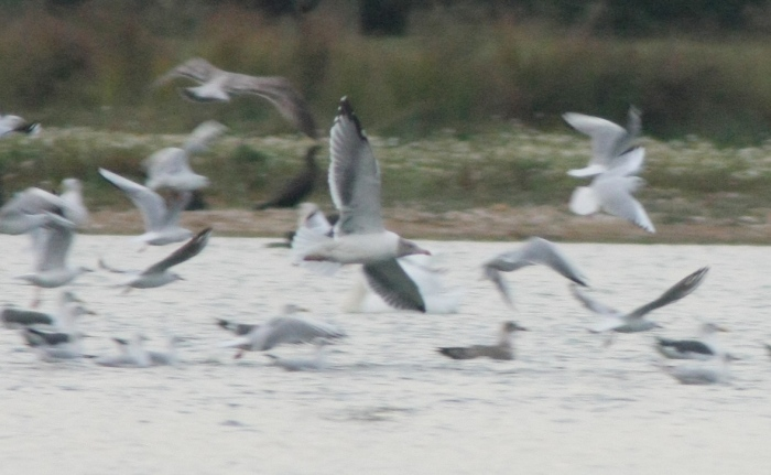 Azorean Yellow-legged Gull, Stanwick GP, 27th September 2013 (Martin Elliott)