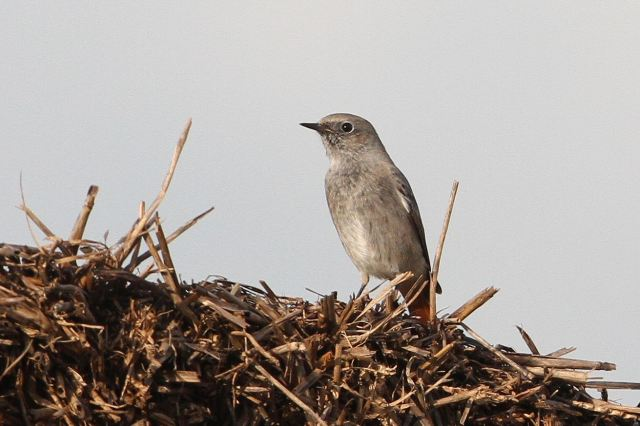 Black Redstart, Harrington AF, 24th October 2013 (Bob Bullock)