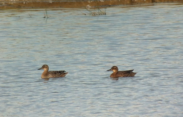 Garganey, Summer Leys LNR, 7th October 2013 (John Friendship-Taylor)