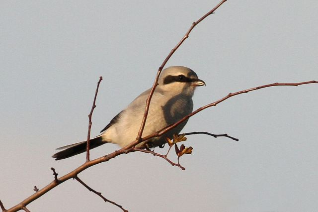 Great Grey Shrike, Harrington AF, 24th October 2013 (Bob Bullock)