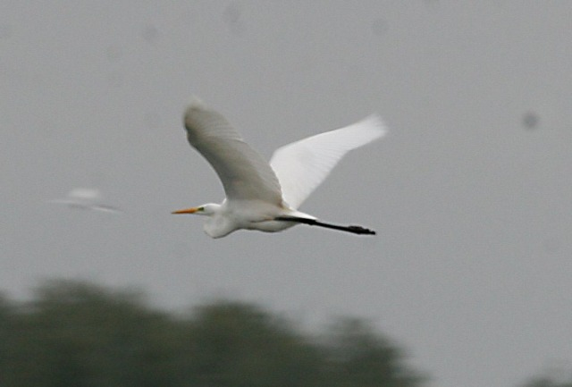 Great White Egret, Stanwick GP, 12th October 2013 (Steve Fisher)