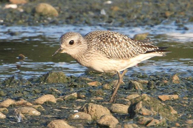 Juvenile Grey Plover, Stanwick GP, 28th September 2013 (Bob Bullock)