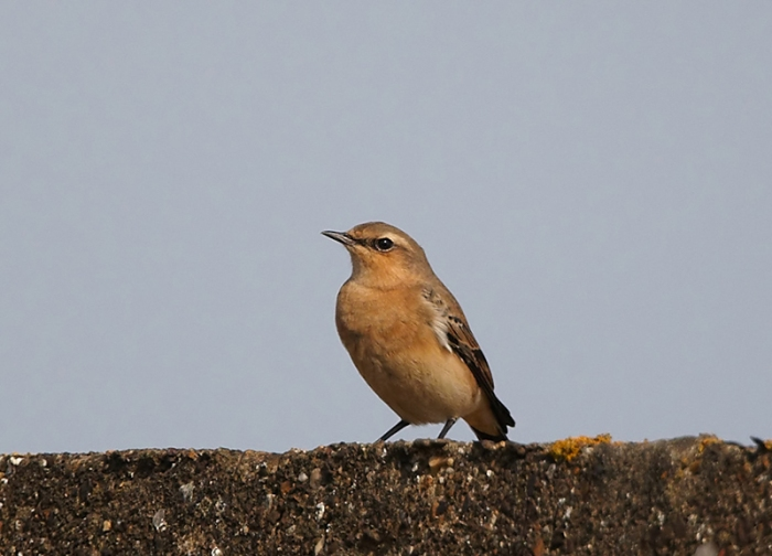 First-winter Northern Wheatear, Harrington Airfield, 28th September 2013 (Doug McFarlane). The richly coloued underparts and relatively late date suggest this may be a bird of the Greenland race.
