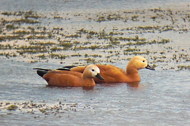 Ruddy Shelducks, Pitsford Res, 4th October 2013 (Jim Dunkley)