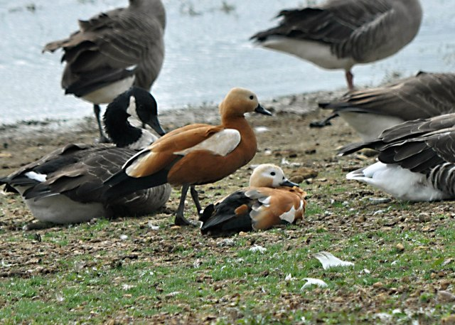 Ruddy Shelducks, Pitsford Res, 4th October 2013 (John Moon)