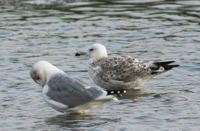 Second-winter Caspian Gull, Stanwick GP, 1st October 2013 (Steve Fisher)
