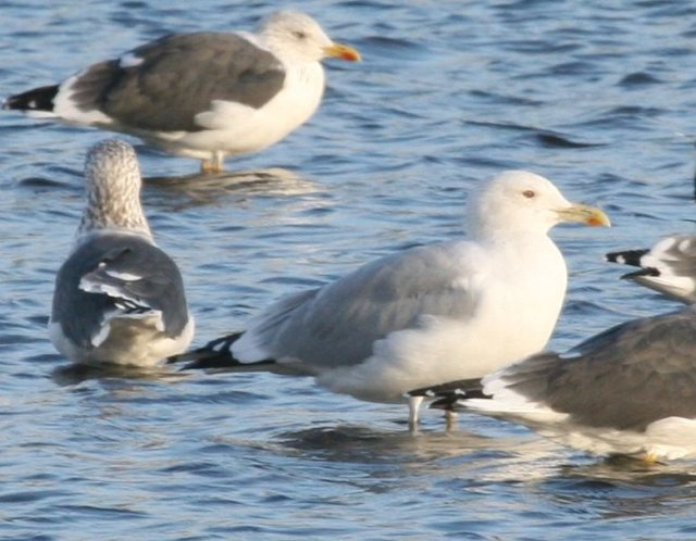 Adult Caspian Gull, Stanwick GP, 30th October 2013 (Steve Fisher)