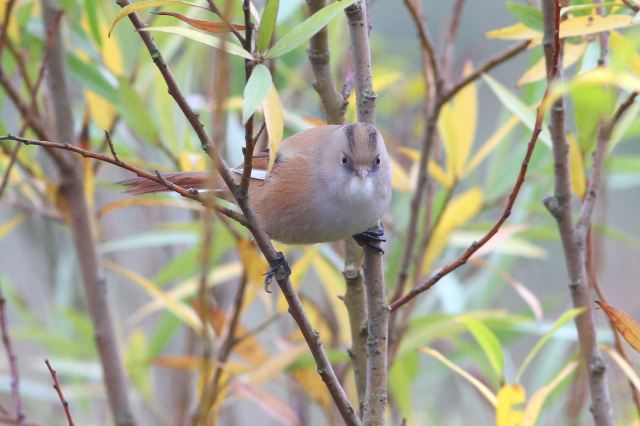 Female Bearded Tit, Stortons GP, 2nd November 2013 (Bob Bullock)