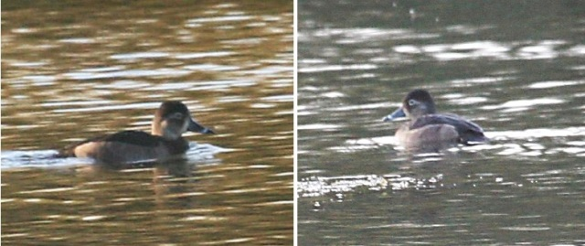 Female Ring-necked Duck, Stanwick GP, 20th November 2013 (Steve Fisher)