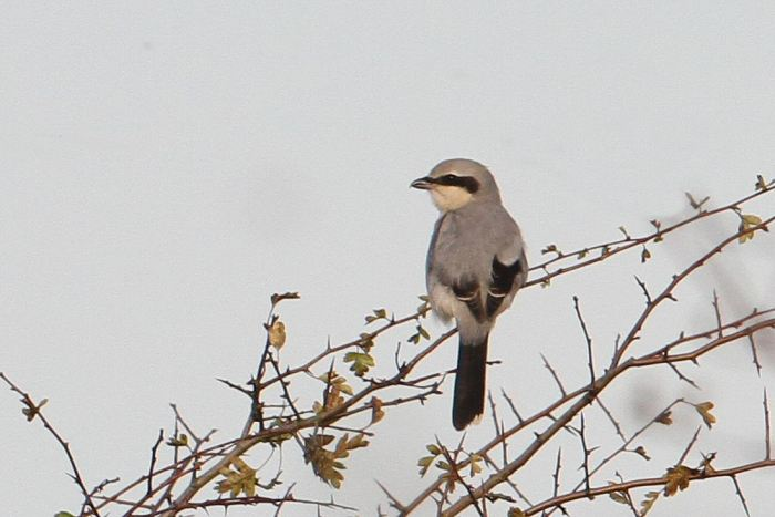 Great Grey Shrike, Harrington AF, October 2013 (Bob Bullock)