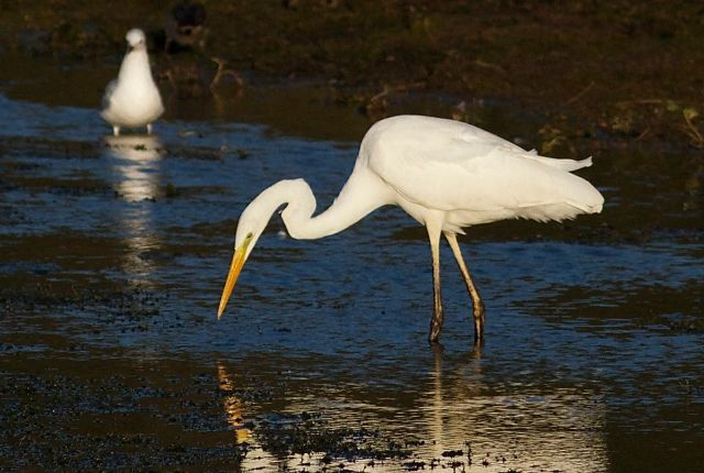 Great White Egret, Pitsford Res, 28th October 2013 (Dave Jackson)