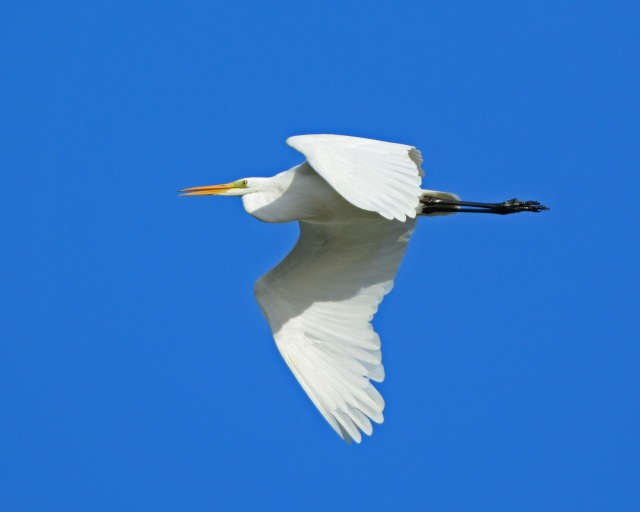 Great White Egret, Pitsford Res, 3rd Nov 2013 (Clive Bowley)