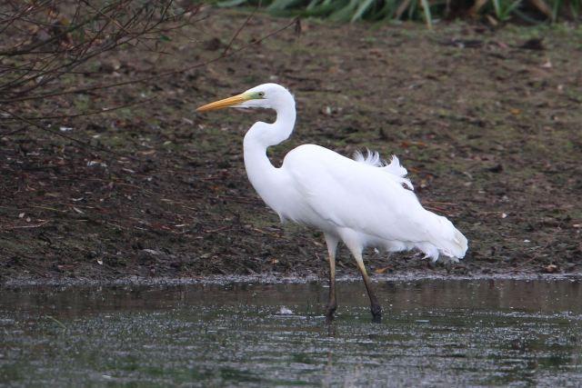 Great White Egret, Pitsford Res, 5th November 2013 (Bob Bullock)