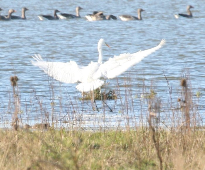 Great White Egret, Stanwick GP, 30th October 2012 (Steve Fisher)