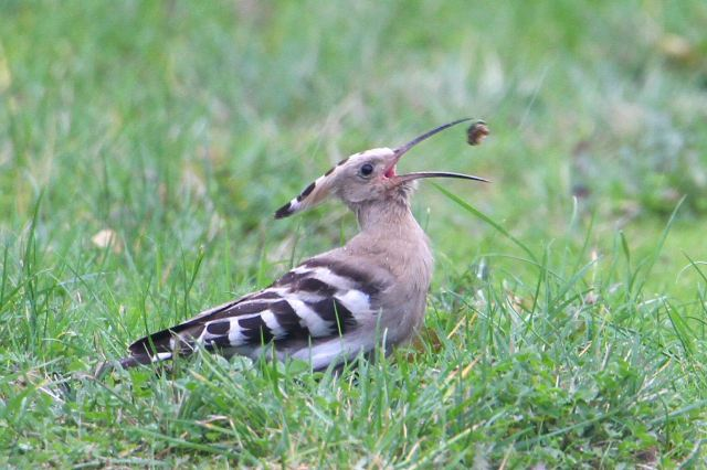 Hoopoe, Woodford Halse, 27th October 2013 (Bob Bullock)