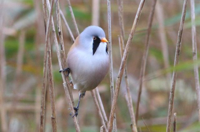 Male Bearded Tit, Stortons GP, 2nd November 2013 (Bob Bullock)
